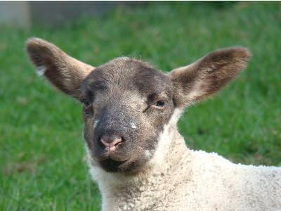Sheep: Guide for Shepherds
