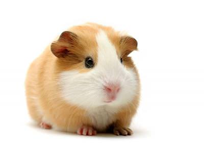 Guinea Pig Advice