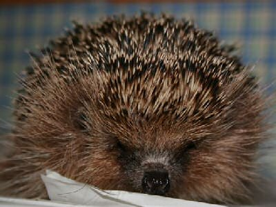 Help Hedgehogs