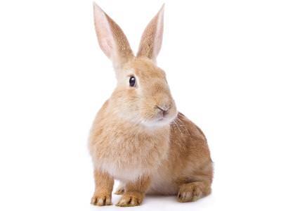 E Cuniculi in Rabbits