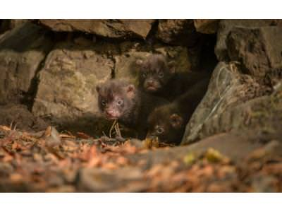 Bush Dog pups emerge from their den 2