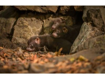 Bush Dog pups emerge from their den 1