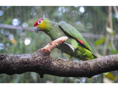 Ecuador Amazon Parrot