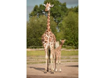 Kidepo, Chester Zoo's newest giraffe