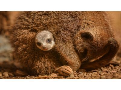 Meerkat Pup with Mum