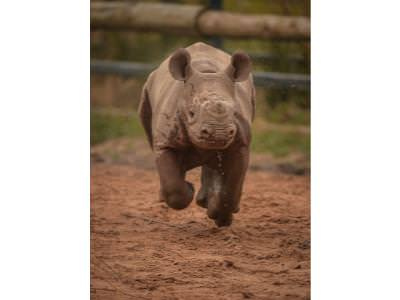 Update on the Baby Black Rhino