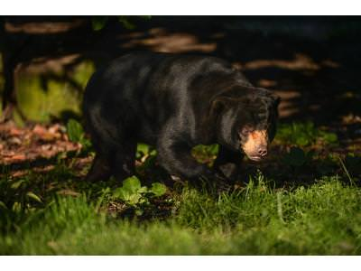 Sun Bears Have Made a Return to Chester Zoo