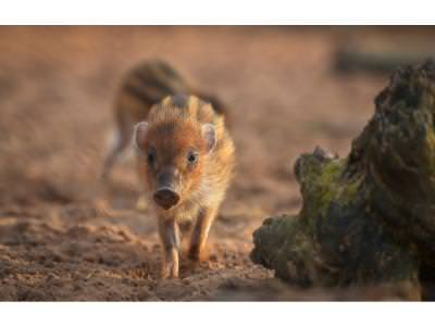 Warty Piglet