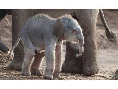 Rare Asian Elephant Born at Chester Zoo
