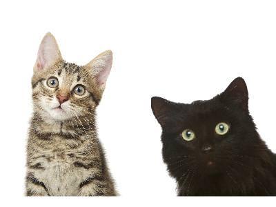 Diabetes Mellitus in Cats