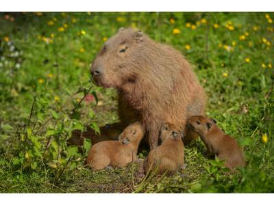 Capybara Births at Chester Zoo Captured on Film