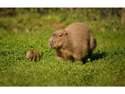 World's largest rodent born at Chester Zoo