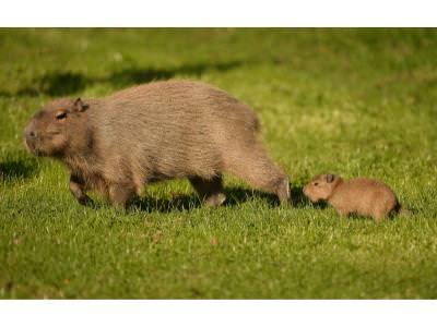 Caybara 2