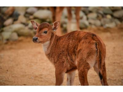 Banteng Birth at Chester Zoo Boosts Conservation o