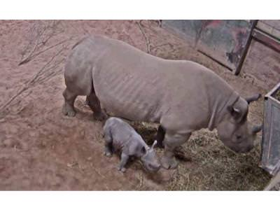 Black Rhino Birth Captured on Chester Zoo CCTV