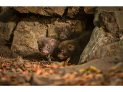 Bush Dog pups emerge from their den 3