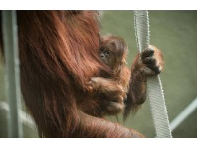 Critically Endangered Sumatran Orangutan Born