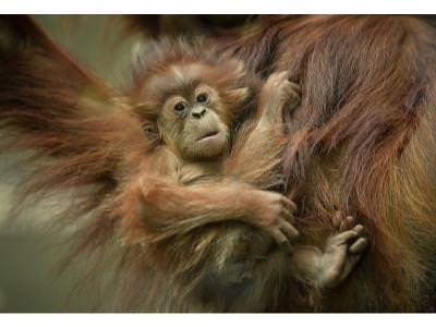 Update on the New Orang-utan Baby at Chester Zoo