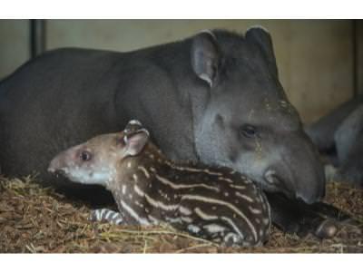 Tapir Baby with Mum