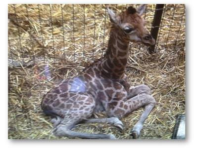 Third giraffe born this year at Chester Zoo