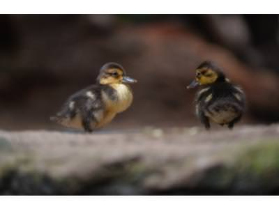 Quacking news! Endangered ducklings hatch at Zoo
