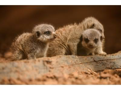 Four playful meerkat pups born at Chester Zoo